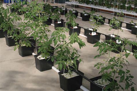 Hidroponik Sistem Fertigasi hydroponic tomatoes growing in perlite filled