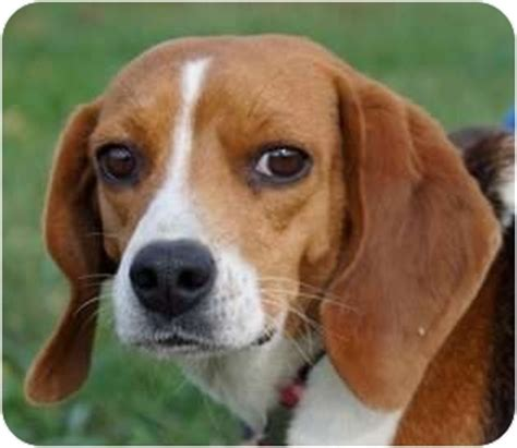 puppy adoption maine in maine adopted freeport me beagle
