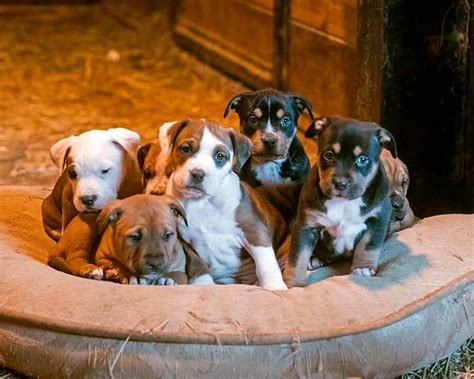 pile of puppies pile of american staffordshire rottweiler mix puppies