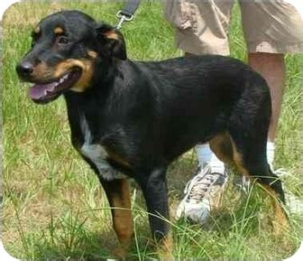catahoula rottweiler mix arrow adopted haughton la rottweiler catahoula leopard mix