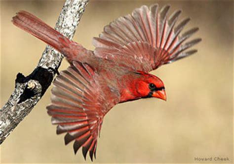 bird of the week: northern cardinal : the national