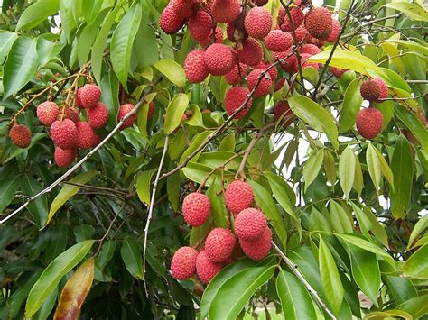 lychee fruit inside see reeves name this plant longan