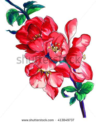 decorative quince chinese quince stock images royalty free images vectors
