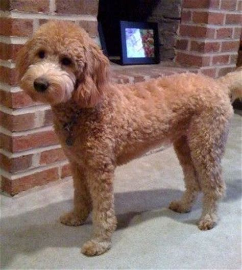 how to cut a goldendoodles hair best 25 goldendoodle haircuts ideas on pinterest