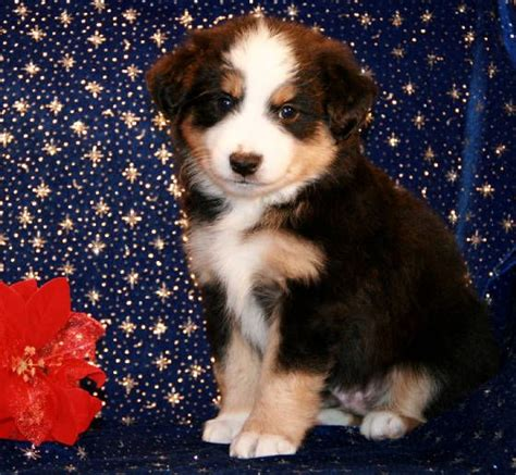 australian shepherd puppies for sale nj 25 best ideas about aussie puppies for sale on mini aussie for sale mini