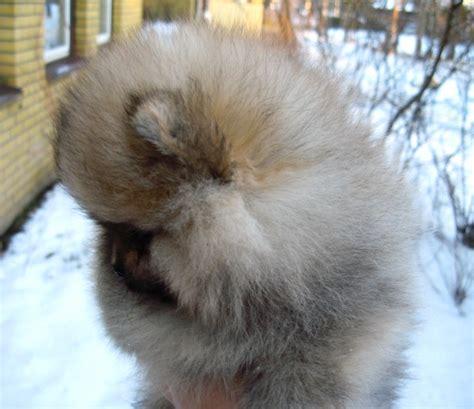 teddy pomeranian chicago teddy pomeranians for adoption breeds picture