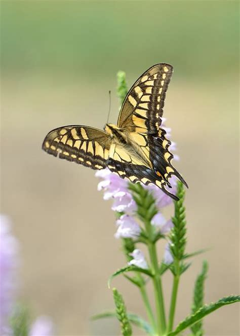 17 best images about butterflies swallowtail papilio machaon on the