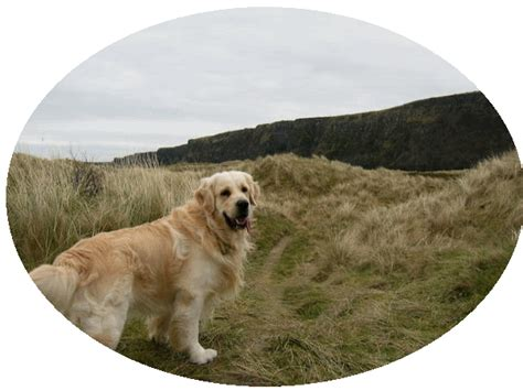 golden retriever breeders in ireland golden retriever pups for sale northern ireland photo