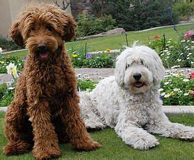 labradoodle puppies az best 25 labradoodle puppies for sale ideas only on labradoodle puppies