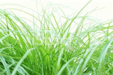 crispy green cypress grass stock photos freeimages com