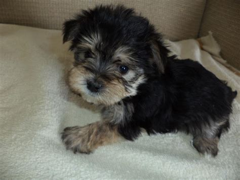 morkie puppies for adoption morkie yorktese puppies for sale breed traits and