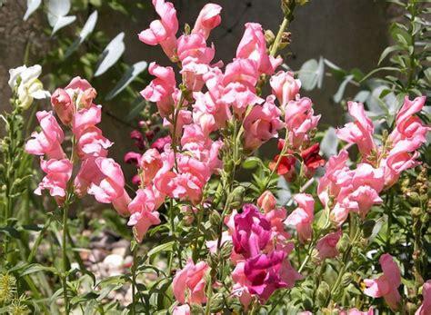 piante da terrazzo ricanti fiori da balcone primaverili cosa coltivare per un