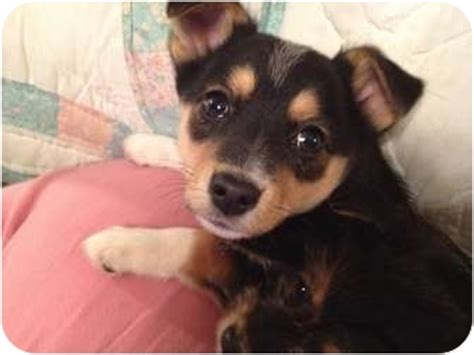 corgi yorkie mix boy adopted puppy waterbury ct corgi yorkie terrier mix