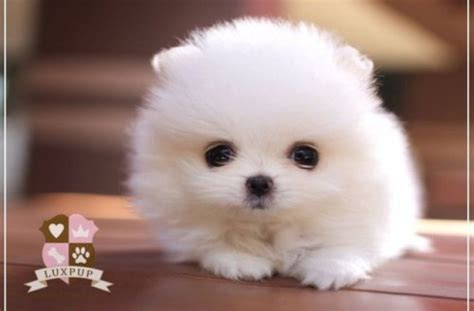 white pomeranian puppies for sale cheap tag for micro teacup puppies for sale cheap litle pups