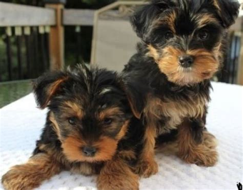 teacup yorkie dallas fantastic teacup yorkie puppies for adoption text 970