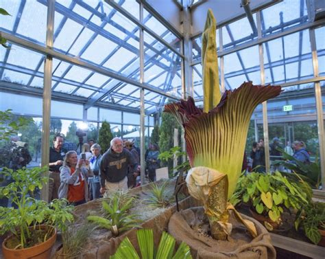 botanical gardens corpse flower denver botanic garden s corpse flower reaches its