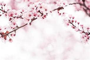 blossom cherry picture cherry blossom pictures images and stock photos istock