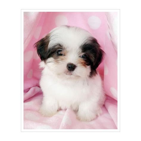 pocket shih tzu puppies for sale 17 best images about teacup cuties on teacup maltese puppies teacup