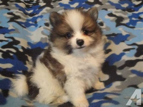 pomeranian puppies for sale in tx adorable pomeranian puppies for sale for sale in elmwood classified