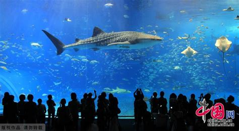 japanese aquarium okinawa churaumi aquarium in japan china org cn
