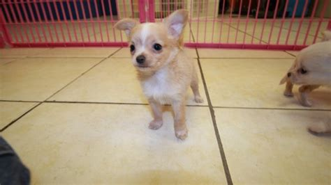chihuahua puppies for sale in ga huggable white hair chihuahua puppies for sale in atlanta ga at