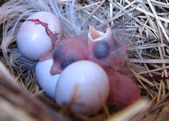 image gallery swallow eggs