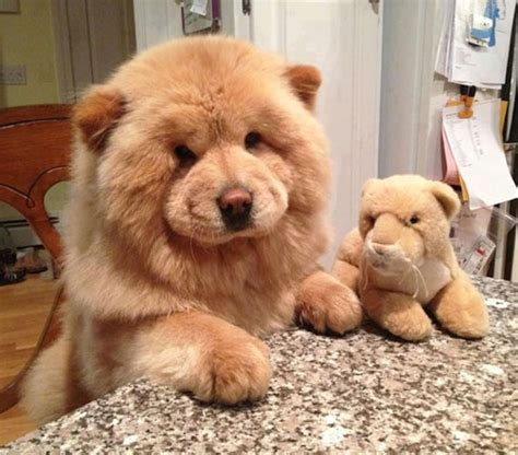 sheshan teddy bear puppies this chow chow is fluffier than the stuffed animal