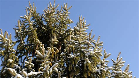 can i plant my christmas tree outside after the holidays