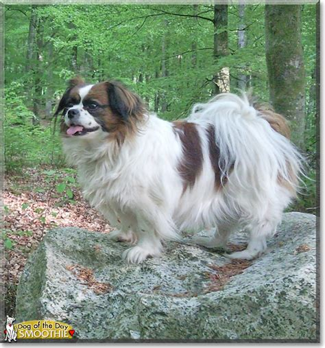 papillon shih tzu quot smoothie the papillon shih tzu quot of the day october 07 2015