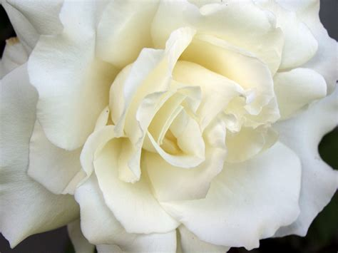 white flower images flowers images white roses wallpaper photos 25785322
