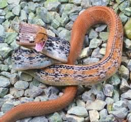 copper colored snake large snake archives thailandsnakes
