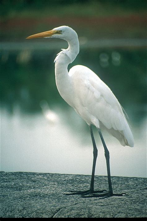imagenes garzas blancas garza blanca great egret