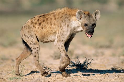 images of hyenas hyena the animals kingdom