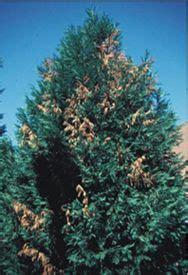 leyland cypress disease pest control leyland cypress
