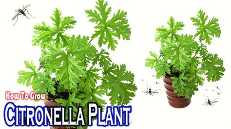 how to growing citronella mosquito plant gardening tips youtube