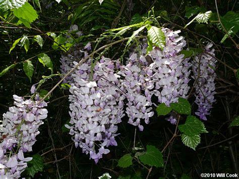 chinese wisteria wisteria sinensis chinese wisteria wisteria sinensis