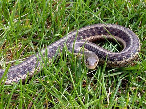 pictures  identify garden snake types slideshow