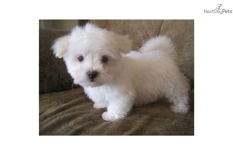 snowball puppy meet samson a maltese puppy for sale for 550 snowball