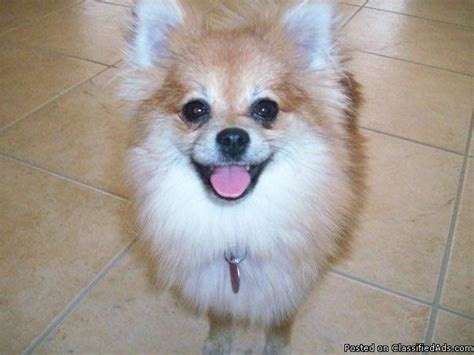 lost pomeranian missing lost pomeranian named dolly best price pynprice