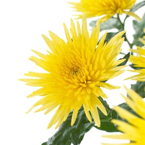 fiori a stella crisantemi a stella passionefiori it fiori freschi a