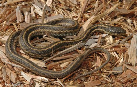 Garter Snake Va Eastern Gartersnake