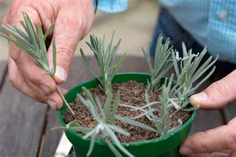 lavender cuttings bbc gardeners world magazine