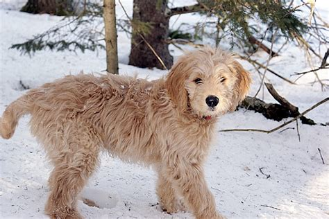 goldendoodle or golden retriever goldendoodle golden retriever poodle mix dogable