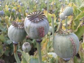 opium farming how do they do it youtube