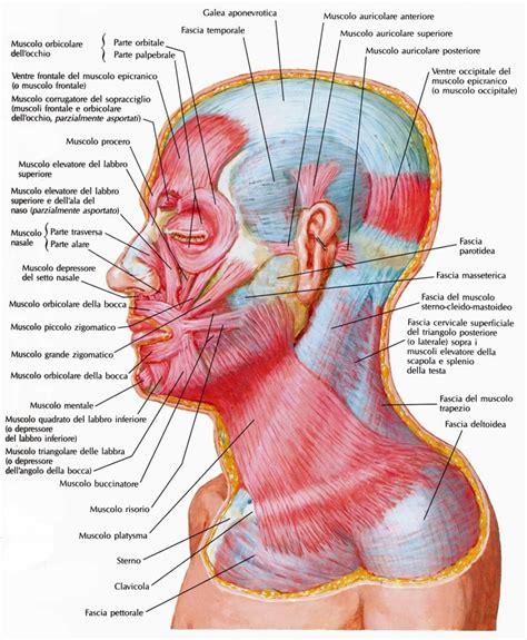 muscoli testa fascia cervicale superficiale collo medicinapertutti it