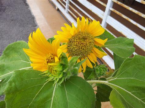 Benih Bunga Matahari Mini tangan panas panas sejuk bunga matahari