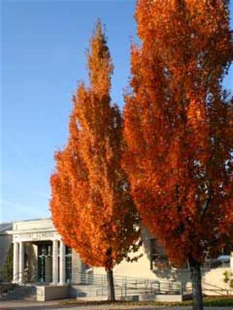 armstrong maple red maple tree herb garden pots garden