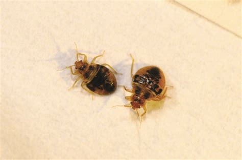 what bed bugs look like how to do a proper bed bug inspection solutions pest