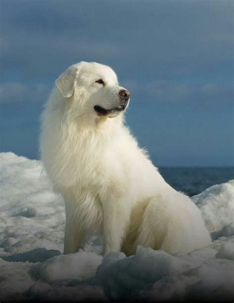 pyrenees dogs great pyrenees farm