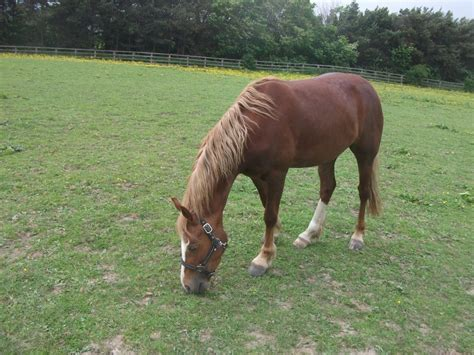welsh section d foals for sale registered welsh cob section d barnsley south yorkshire